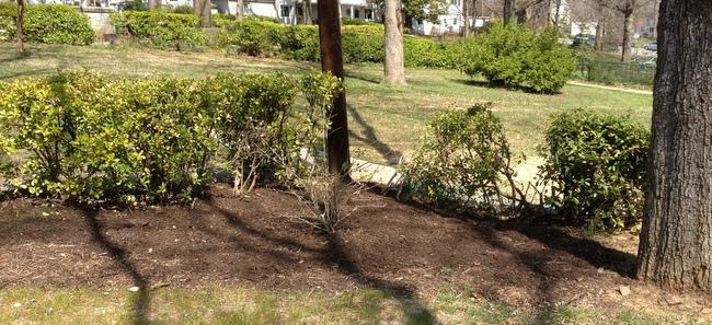 Garden make-over in progress in Old Greenbelt