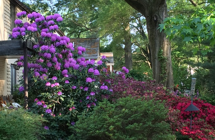 Rhododendrons in Old Greenbelt