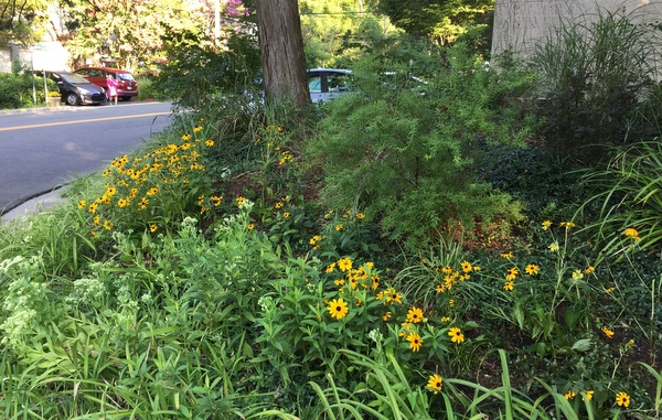 black-eyed Susans in Old Greenbelt