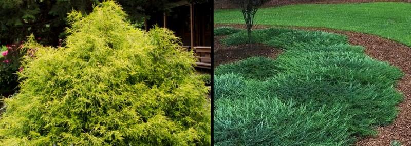 Goldmop Threadleaf False Cypress and groundcover juniper
