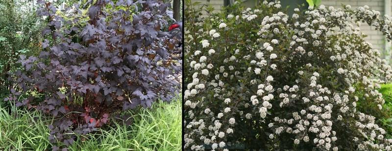 Ninebark 'Diablo' shrub