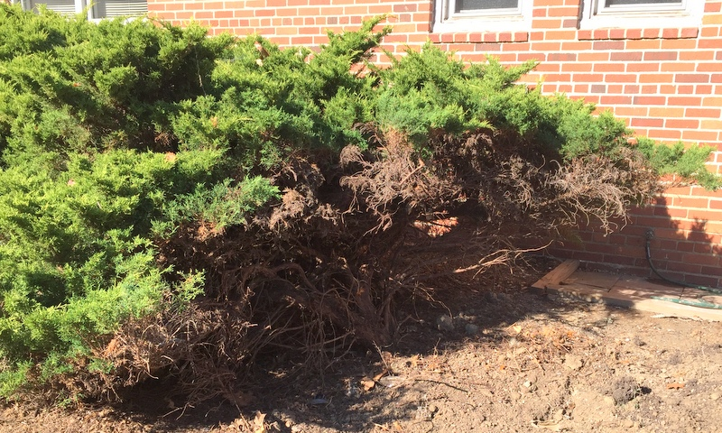 """Before"" landscape photo of dead juniper at Greenbelt Homes offices"