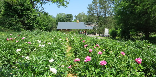 Peonies at Wollam Gardens in Virginia