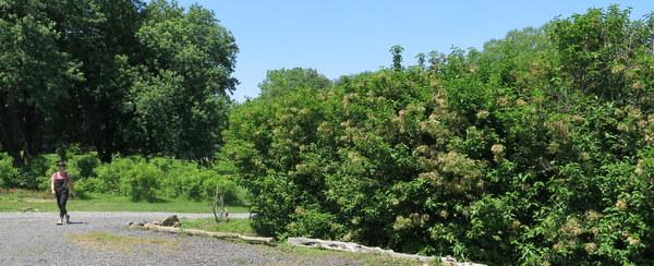 Viburnums at Wollam Gardens in Virginia