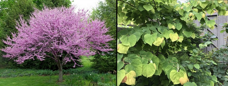 Redbuds, including 'Rising Sun'
