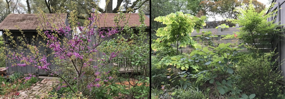 Redbuds and Japanese Maples