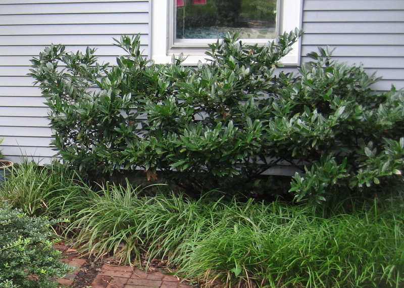 Cherry laurels suggested for shady foundation plantings.