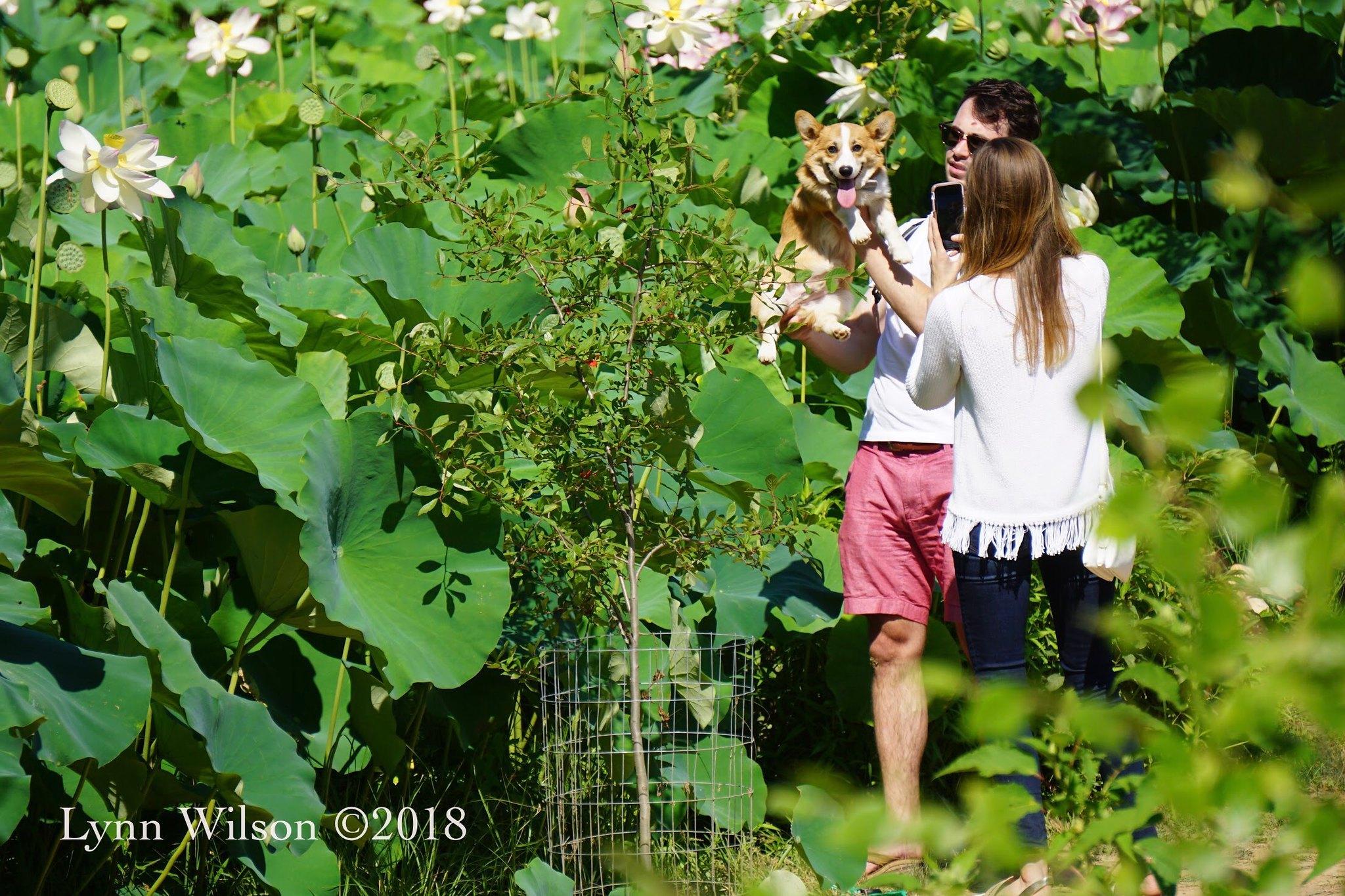 Corgi being photographed at Kenilworth Aquatic Gardens