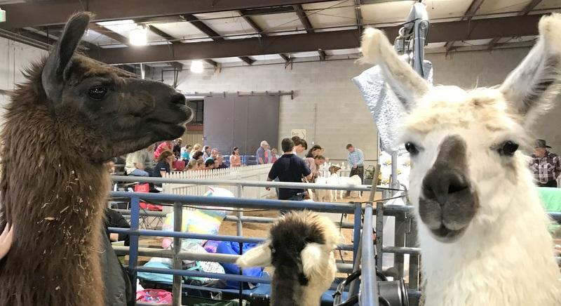 Llamas at Maryland State Fair