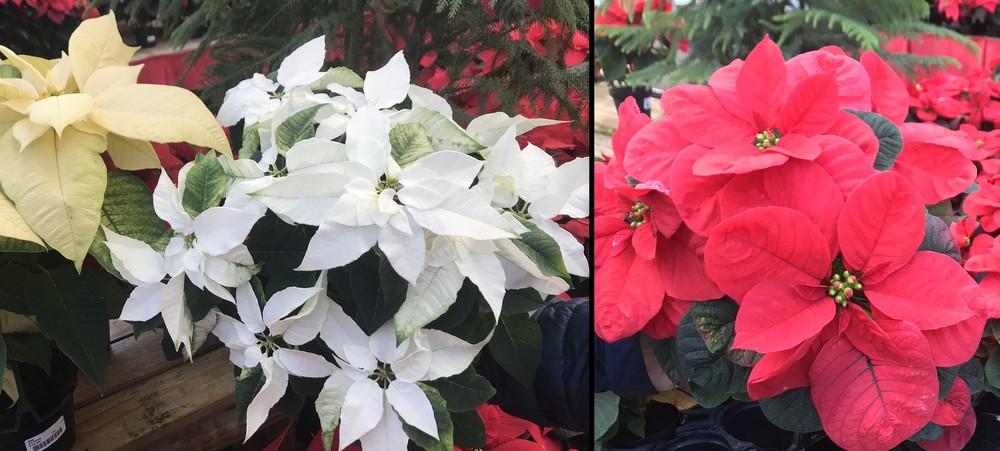 Poinsettias at Homestead Gardens