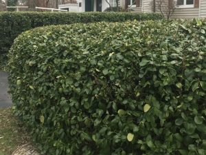 Euonymus hedge at Greenbelt Museum